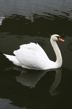whine: 1148 The Whine Swan Floats on the Lake Stock Photo