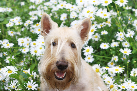 Smiling Wheaten Scottish Terrier portrait in chamomile flowers in Summer