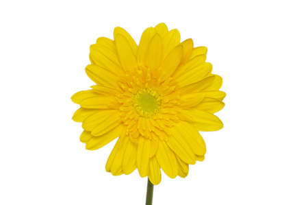 Yellow daisy flower isolated on white Stock Photo