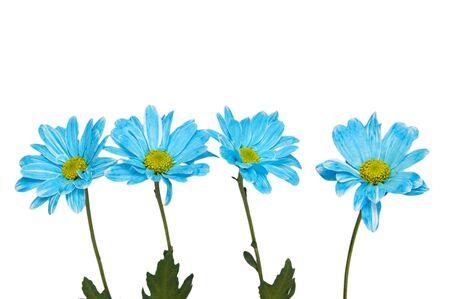 chamomile flowers isolated on white Stock Photo