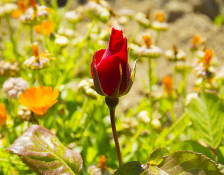 Beautiful red rose in a garden Stock Photo