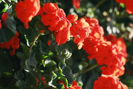 geranium color: Beautiful geranium flowers background Stock Photo