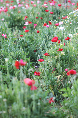 poppy flower: Poppy flower in the meadow (wild poppy flower) Stock Photo