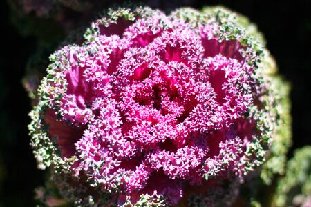 flowering kale: Color Cabbages closeup,beautiful colorful cabbage leaves with dew in winter,Ornamental Cabbage,Flowering Cabbage,Ornamental Kale Stock Photo