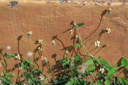 creeping plant: Green creeping plant with yellow flower on concrete background