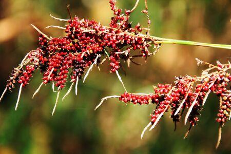 plantaginaceae: Close up russelia equisetiformis or firecracker plant flower