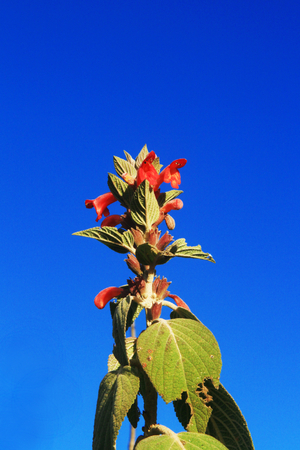 fabaceae: Kidney Beans blooming,flaming bright red on a blue sky background , family Fabaceae (Phaseolus)