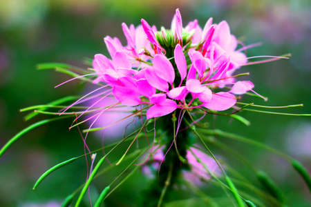thriving: Spider flower(Cleome hassleriana) in the garden