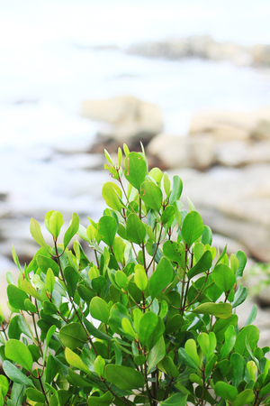 perennials: Cork tree or Mangrove apple leaves