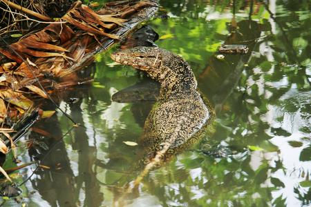 salvator: Lizard,Varanus salvator or Water monitorswim in the water