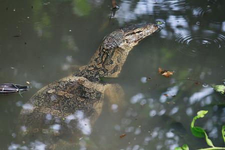 dragon swim: Lizard,Varanus salvator or Water monitorswim in the water
