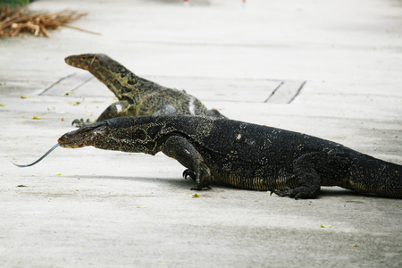 salvator: Lizard, Water monitor or Varanus Salvator float, on cement floor