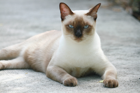 siamese: Siamese cat portrait Stock Photo