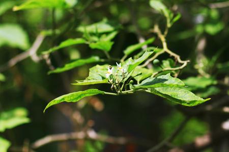 humilde: Flores de la planta de huevo Foto de archivo