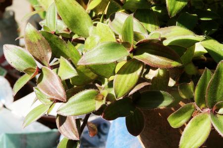 urination: river spiderwort or small-leaf spiderwort. (Tradescantia fluminensis) Herb Hemp Thailand