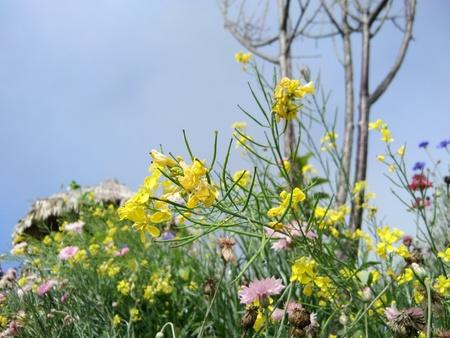 Chrysanthemum indicum Linn. Or Chrysanthemum morifolium Ramat, trees and flower have medicinal properties. Stock Photo