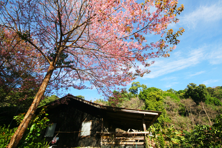 House with Himalayan Cherry Blossom Flower and mountain