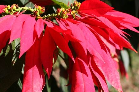 Branch of Christmas Flowers, Poinsettias in nature.