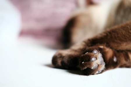 Close-up of paw from Siam cat lying on white table