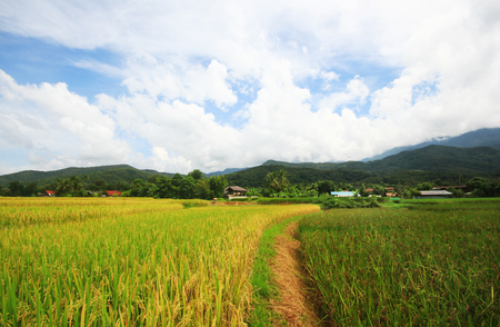 Rice field on terrace hillside in NAN, Thailand. natural landscape of rice farm. cultivation agriculture