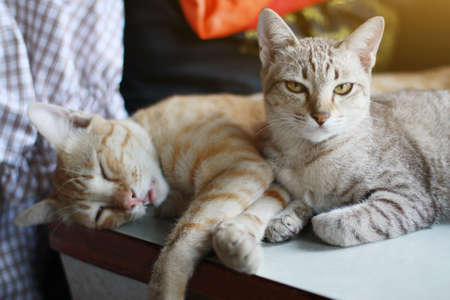 Cute orange cat and grey striped cat enjoy and sleeping on the table 版權商用圖片