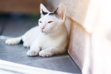 Kitten White cat sitting and enjoy on wood terrace with sunlight 版權商用圖片