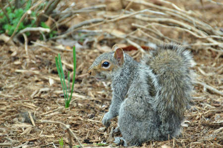 squirrel, Sciurus