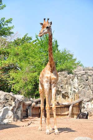 youngly: girafe