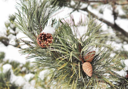 pinetree: cone pine-tree in snow Stock Photo