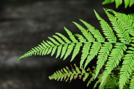 green leaves of fern photo