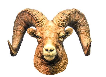 capricornio: muflón cabeza aislado sobre fondo blanco Foto de archivo