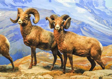shot of a MOUFLON - wild sheep on top of mountain