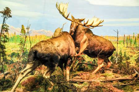 big moose: Wild Bull Moose