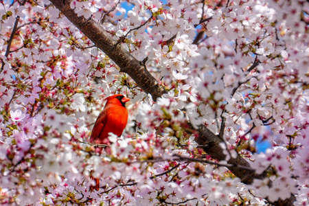 bird feeder: A Red Bird, The Northern Cardinal Male on cherry blossom tree Stock Photo