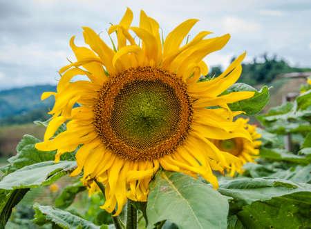 태양 꽃 스톡 콘텐츠