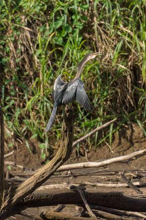 Snakebird at Frio river. Cano Negro, Costa Rica