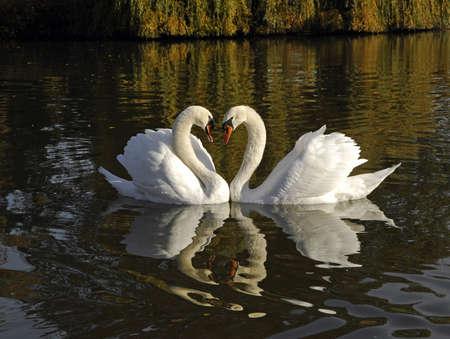Two swans Reklamní fotografie