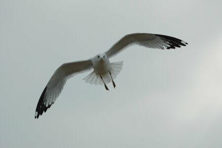 Gull in Flight Stockfoto