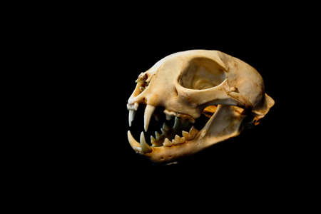 carnivora: Bobcat skull Stock Photo