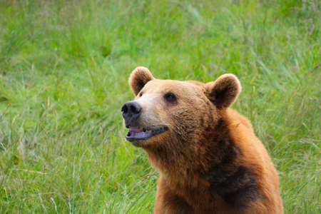 montana: Grizzly smile Stock Photo