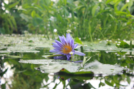 waterlillies: water lily with a purple flower and reflections