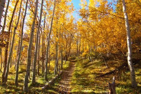 quaking aspen: aspen path