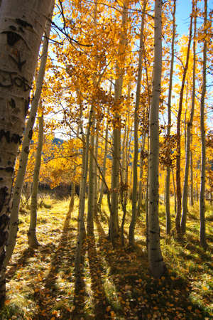 quaking aspen: aspens Stock Photo