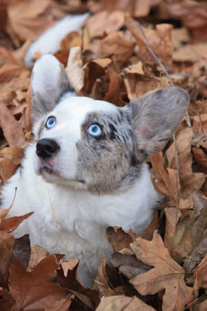 Cardigan Welsh Corgi playing in fall leaves photo