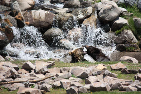 animosity: two grizzlies play fighting in the water