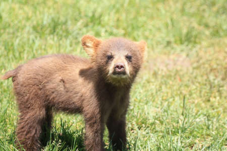 smoky: black bear cub trying to get someones attention Stock Photo
