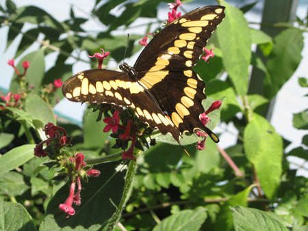 Giant Swallowtail Butterfly photo