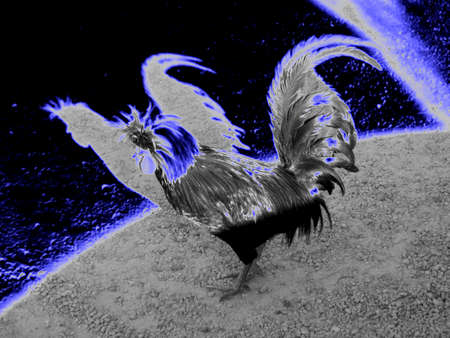 Poland Chicken Veiled in the Luminous Rays from a Blue Moon - A Poland Chicken is photographed under the veil of luminous rays from a dark, blue moon; the shadow of the chicken profile is inversely reflected from the darkness of the night