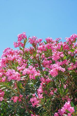 greek pot: The pink flowers with blue sky. Archivio Fotografico
