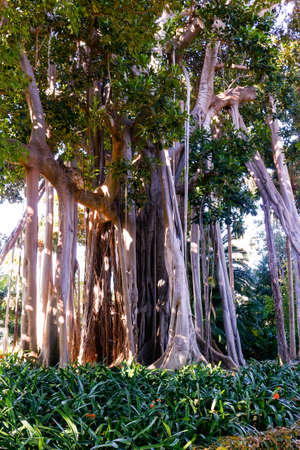 Root system of a big Ficus Stock Photo